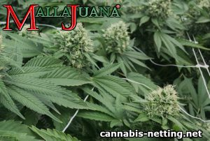 cannabis netting
