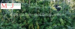 MALLAJUANA net used for provide support to the cannabis plant