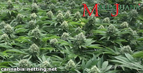mallajuana tutoring cannabis cropfield