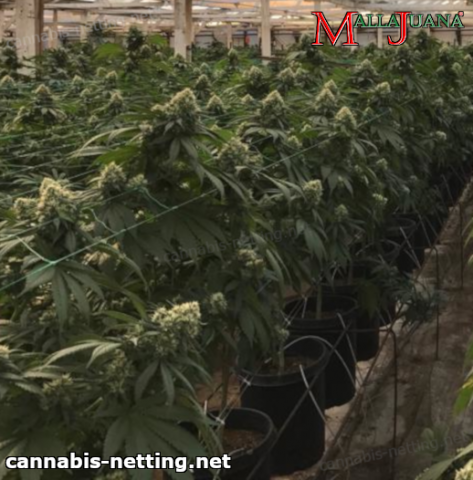 cannabis plants using malllajuana net for support