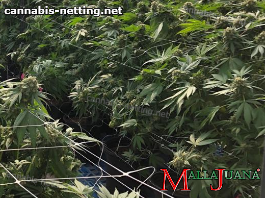 cannabis crops with mallajuana support net