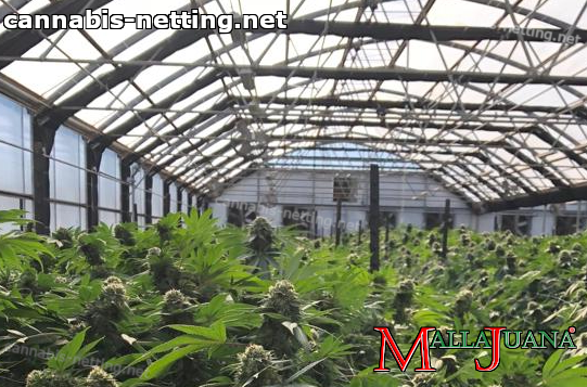 cannabis cropfield in greenhouse using support net