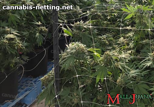cannabis crops in vertical support with mallajuana