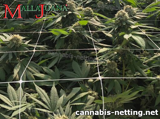 mallajuana support net providing support to cannabis crops