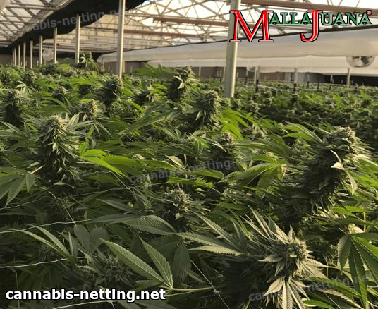 mallajuana net used on cannabis crops