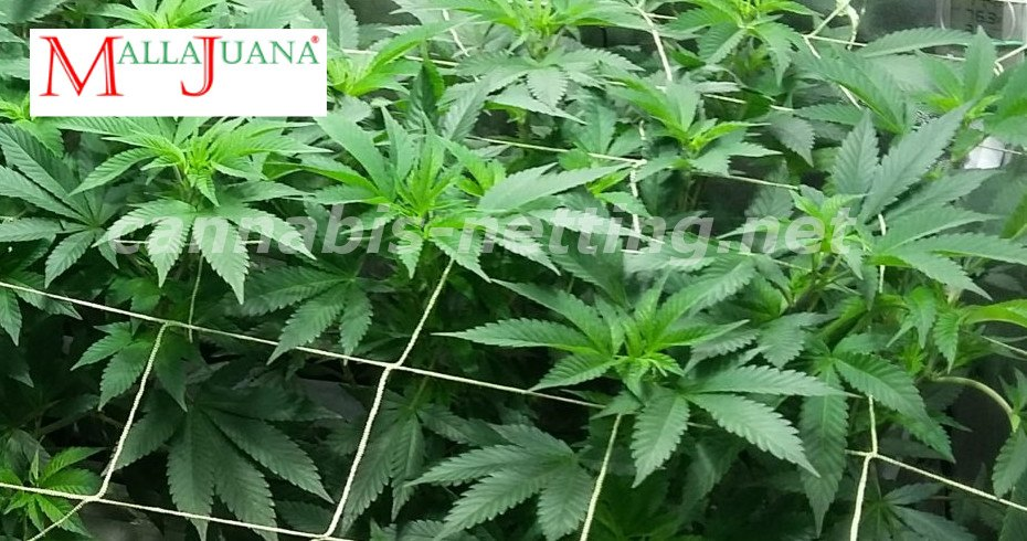 marihuana trellis help to the good tutoring of the plant
