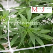 marihuana trellis keeps the good growth of the plant