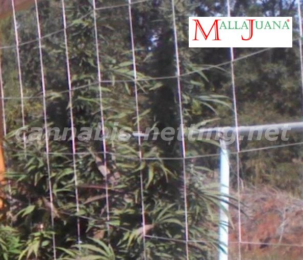 marihuana trellis protecting and get a good growth for the plant.