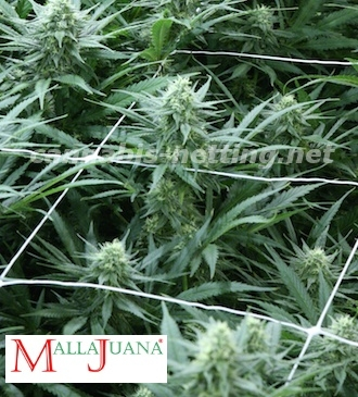marihuana trellis for tutoring of crops